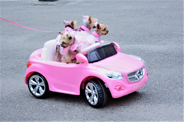 dogs car